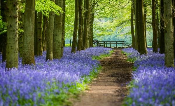 英国bluebell森林